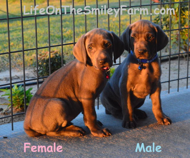 Puppy's for sale !
